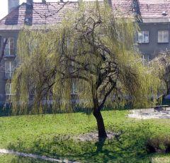 Wierzba wiosna